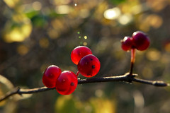 glow (nelesch14) Tags: macro fall autumn sunshine red berry leaves yellow bokeh light sunlight
