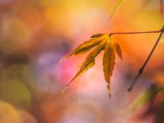 imperfection (Tomo M) Tags: momiji 紅葉 japanesemaple autumncolors autumn bokeh light nature leaf gold pentacon bright abigfave