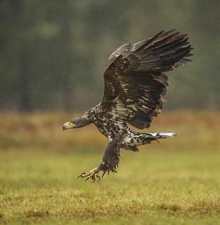 White Tailed Eagle-19