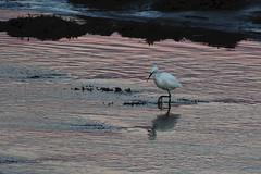 Egret Dusk. (stonefaction) Tags: little egret birds nature wildlife scotland fife guardbridge eden estuary dusk sunset gloaming
