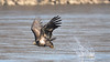 DSC_8545 (willy_chan88) Tags: bald eagles conowingo dam 2017