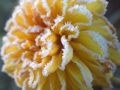 YELLOW DAHLIA PA310282 (hans 1960) Tags: dahlia dahlie farbe colour flower blume nature natur ice frost frosty freeze frozen yellow gelb macro cold kalt germany