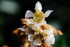 Flor de Nispero (ameliapardo) Tags: flores arboles plantas frutas nisperos macro macrodeflore sevilla andalucia españa airelibre fujixt1