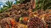 Oil palm in Brazil (CIFOR) Tags: deforestation plantations landclearance bioenergy oilpalms economics employment landuse landmanagement biodiesel employmentopportunities landtenure biofuels santarém pará brazil br