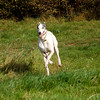 171029 Dog Run-0002 (whitbywoof) Tags: gilmour sparkys vorjax rescue pet dog pedigree greyhound retired racer