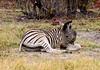 Plains zebra (Chalto!) Tags: afrca botswana exploreuk khwaicamp moremigamereserve wildernessdawning wildlife zebra plainszebra burchellszebra