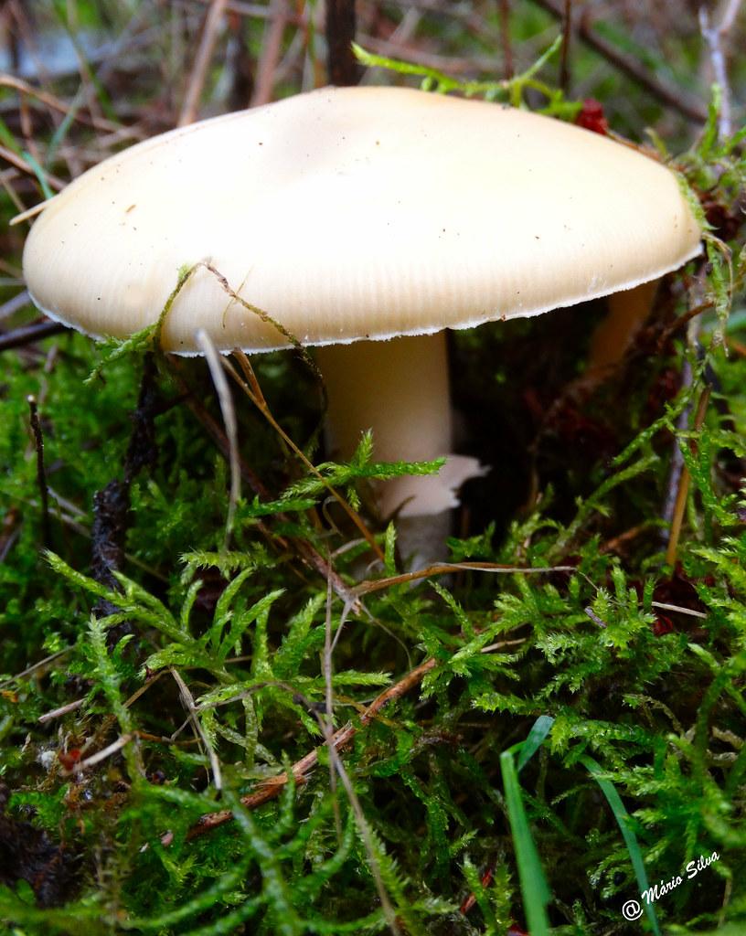 Águas Frias (Chaves) - ... cogumelo branco ...