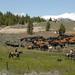 Livestock086
