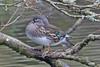 Mandarin  F (drbut) Tags: mandarin aixgalericulata anatidae water lakes cannopponds nature wildlife canonef500f4lisusm