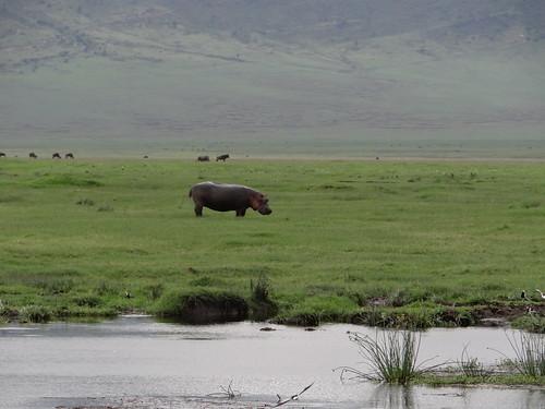 Flusspferd im Regen