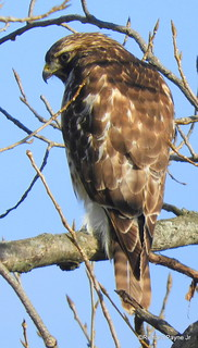 Red-tailed Hawk_N9747