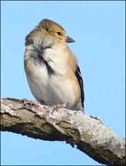 Male American Goldfinch (muledriver) Tags: birds finch goldfinch lakekatherine