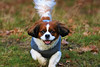 Pure Joy! (stellagrimsdale) Tags: dog joy happiness fun beautiful park green coat movement running face eyes mouth tounge ears fur tail paws kingcharles spaniel smileofadog