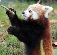 red panda Blijdorp BB2A5806 (j.a.kok) Tags: panda redpanda rodepanda animal blijdorp asia azie china mammal zoogdier dier kleinepanda