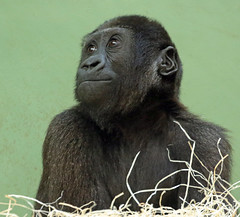 western lowlandgorilla Blijdorp BB2A6512 (j.a.kok) Tags: aybo gorilla westelijkelaaglandgorilla westernlowlandgorilla lowlandgorilla laaglandgorilla blijdorp aap animal ape mammal monkey mensaap primaat primate zoogdier dier africa afrika