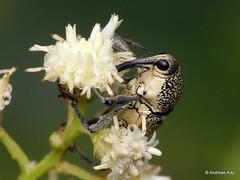 Weevil, Cholus sp., Curculionidae (Ecuador Megadiverso) Tags: amazon andreaskay asteraceae beetle cholussp coleoptera curculionidae ecuador rainforest weevil