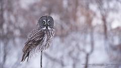 Great grey owl Perched (Raymond J Barlow) Tags: owl greatgreyowl wildlife workshop phototours travel raymondbarlow