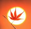 Maple sunshine (Robyn Hooz) Tags: luce maple acero foglia sole contorno circle disk sun sunrise padova ramo branch backyard giardino