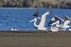 DSC_8899 (Kjell Arild Dokka) Tags: pelikaner krøllpelikan pelecanus crispus iran minab azinicreek