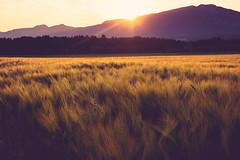Fields of Gold (Alex_Pardini) Tags: fields field cornfield landscape corn sundown sunset autumn goldenhour light nature nikon d7100 alex alexpardini gladiator cinematic movies