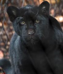 jaguar artis BB2A9346 (j.a.kok) Tags: jaguar jaguarcub jaguarwelp zwartejaguar blackjaguar artis animal zuidamerika southamerica kat cat mammal zoogdier dier predator