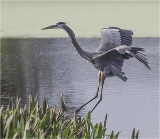 Great Blue Heron Landing #3