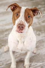 Ollie (Pet Haven) Tags: americanpitbullterrier americanstaffordshireterrier angelaboonephotography petsbyangelaboone professionalphotos professionalportraitphotography
