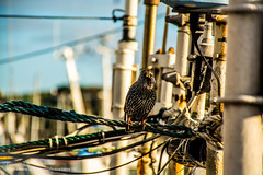 Hi there, I'm back! (-REcallable-Memories-of-ET-) Tags: esze hungary nikon tamas d5200 ireland bird nature kikötő october sea europe starling seregély birds seaside port hafen ships seregely madar picture