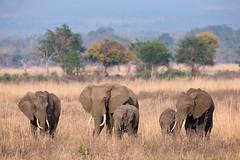 Tanzania '14_2271 (Jimmy Vangenechten 76) Tags: geo:lat=733212400 geo:lon=3711481600 geotagged tanzania africa afrika wildlife safari animal dier mikuminationalpark elephant loxodontaafricana olifant specanimal