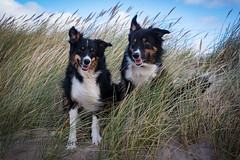 Trigger & Yatzy at beach (Flemming Andersen) Tags: sand trigger bordercolli pet nature dog outdoor yatzy animal hjørring northdenmarkregion denmark dk