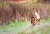 Turn And Run! (Wes Iversen) Tags: grandblanc grandblanccommons michigan nikkor80400mm odocoileusvirginianus animals autumn brush digitalart grasses mammals painterly running whitetaileddeer wildlife
