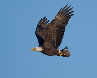 Bald Eagel with fish
