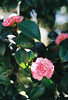 Pink Pretties (Katie Tarpey) Tags: pink pinkflowers camellia spring nature leaves plant bokeh film 35mm agfa agfavistaplus400 light afternoon afternoonlight nikonfm10 nikkor50mm14 green