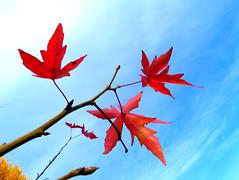 P1270726 (steve p2008) Tags: burtonupontrent autumn november2017 woodland trees redleaves red