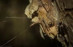 'Eriophora' on paperbark (dustaway) Tags: arthropoda arachnida araneae araneomorphae araneidae araneinae eriophora orbweaver australianspiders wardellheathlands wardell northcoast northernrivers nsw nature australia