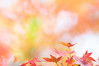 tiny carnival (hitohira_) Tags: flower flowers n nature bokeh leav leaves maple