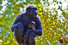GORILLA_PROTECTIVE_MOTHER_LISBON_ZOO_PORTUGAL (paulomarquesfotografia) Tags: paulo marques sony a230 sar75300mm zoo lisbon lisboa jardim zoologico portugal macaco gorilla gorila bebe baby mother mãe bokeh nature animal natureza mammal mamífero