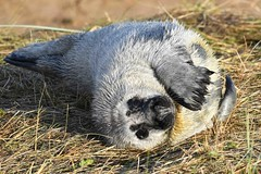 a JON_7935 (bajandiver) Tags: seals pups breading season donna nook bajandiver