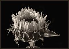 Sunflowers #45 2017 (hamsiksa) Tags: plants flora vegetation flowers blossoms blooms asteraceae helianthus sunflowers stilllife botanical botany studio studioshot studiophotography blackwhite