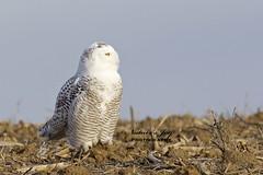 Snowy Owl (Natures Joy Photography) Tags: snowyowl snowy owl strigiformes buboscandiacus snow illinois harrypotterowl