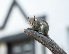 for your amusement (long.fanger) Tags: squirrel