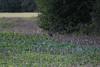CKuchem-4866 (christine_kuchem) Tags: ackerrand agrarlandschaft deckung ernte feld felder getreide getreidefeld hase hasen landwirtschaft sommer stoppelfeld tier wald waldrand wildhecke wildkaninchen wildtierkaninchen wild