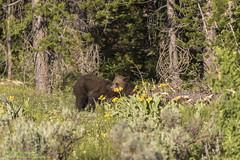 TETONS (Robert Strickland) Tags: bears elk elkrefuge grizzly moose mountais tetons jackson wyoming usa us