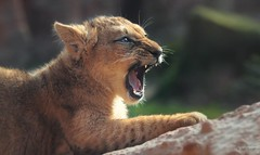 MAMAAAAAAAAA !!! (babsbaron) Tags: nature tiere animals katzen cats bigcats raubkatzen grosskatzen löwen lions berberlöwen berberlions raubtiere predators jäger hunter zoo erlebniszoo hannover