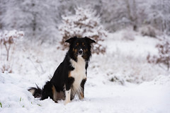 49/52 Yatzy in the snow (Helle Lindholm Larsen) Tags: dog bordercollie yatzy 52weekesfordogs winter outdoor snow