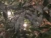 I primi fiocchi 😊 (pcamma) Tags: decoration christmas natale lights luci verde green plant tree pianta ciliegiod'inverno foglie leaves giardino garden nature natura inverno winter snow neve