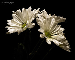 White Daisies 1207 Copyrighted (Tjerger) Tags: nature beautiful beauty black blackbackground blooming bunch closeup daisies daisy fall flora floral flower flowers green group macro mum plant portrait white wisconsin mums bloomblooms natural
