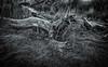 Stilled life (CAJC: in the Rockies) Tags: bw blackandwhite monochrome lightroom googlenik sonyrx100m5 colorado waldenpondswildlifereserveboulderco boulderco study old logs ecosystemchanges cottonwood populusdeltoides plainscottonwood populusdeltoidesmonolifera populus salicaceae