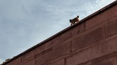 Wanderer in Taj_Mahal (Sudharsan Ravikumar) Tags: cwc chennai weekend clickers taj tajmahal canon triangles color mokey monkey agra delhi uttarpradesh travelstories ngc sr sudharsan ravikumar sudharsanravikumar