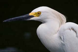 Egretta thula / Snowy Egret / Garza patiamarilla